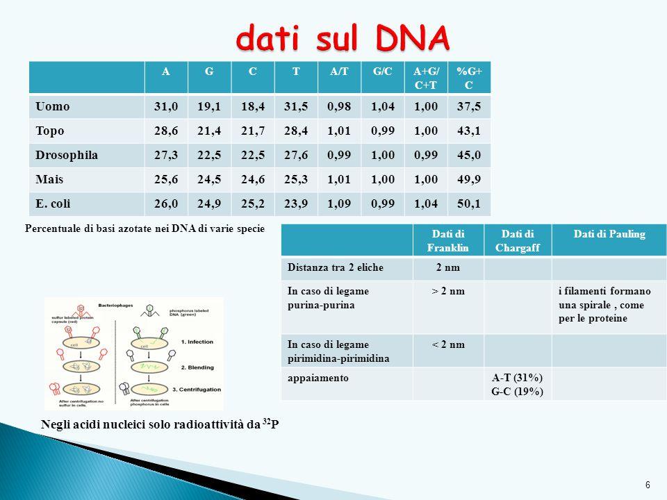 6 Percentuale di basi azotate nei DNA di varie specie Negli acidi nucleici solo radioattività da 32 P Dati di Franklin Dati di Chargaff Dati di Pauling Distanza tra 2 eliche2 nm In caso di legame purina-purina > 2 nmi filamenti formano una spirale, come per le proteine In caso di legame pirimidina-pirimidina < 2 nm appaiamentoA-T (31%) G-C (19%) AGCTA/TG/CA+G/ C+T %G+ C Uomo31,019,118,431,50,981,041,0037,5 Topo28,621,421,728,41,010,991,0043,1 Drosophila27,322,5 27,60,991,000,9945,0 Mais25,624,524,625,31,011,00 49,9 E.