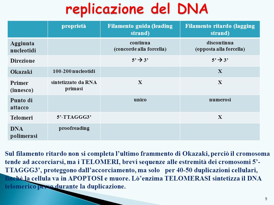proprietàFilamento guida (leading strand) Filamento ritardo (lagging strand) Aggiunta nucleotidi continua (concorde alla forcella) discontinua (opposta alla forcella) Direzione 5'  3' Okazaki 100-200 nucleotidiX Primer (innesco) sintetizzato da RNA primasi XX Punto di attacco uniconumerosi Telomeri 5'-TTAGGG3'X DNA polimerasi proofreading 9 Sul filamento ritardo non si completa l'ultimo frammento di Okazaki, perciò il cromosoma tende ad accorciarsi, ma i TELOMERI, brevi sequenze alle estremità dei cromosomi 5'- TTAGGG3', proteggono dall'accorciamento, ma solo per 40-50 duplicazioni cellulari, finché la cellula va in APOPTOSI e muore.