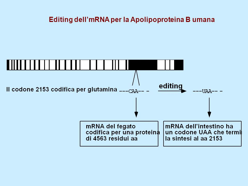 Editing dell'mRNA per la Apolipoproteina B umana