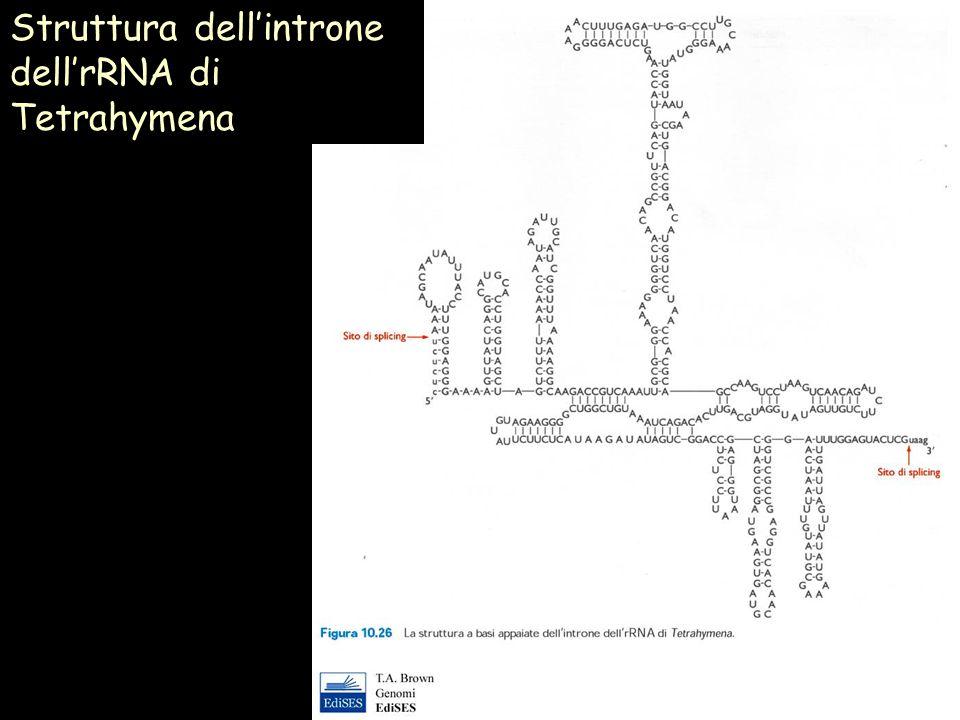 Struttura dell'introne dell'rRNA di Tetrahymena