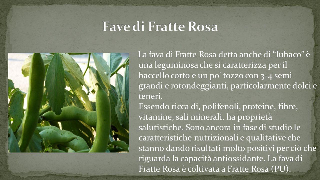 La fava di Fratte Rosa detta anche di lubaco è una leguminosa che si caratterizza per il baccello corto e un po tozzo con 3-4 semi grandi e rotondeggianti, particolarmente dolci e teneri.