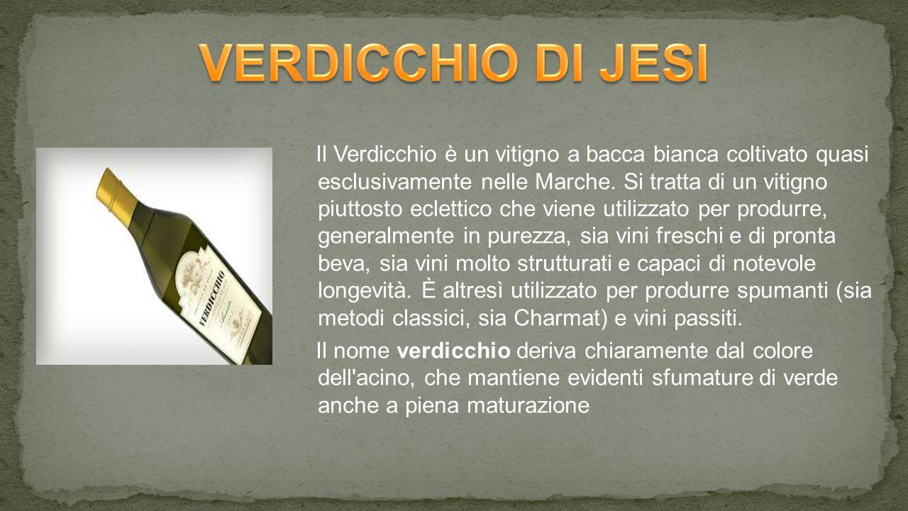 Il Verdicchio è un vitigno a bacca bianca coltivato quasi esclusivamente nelle Marche.