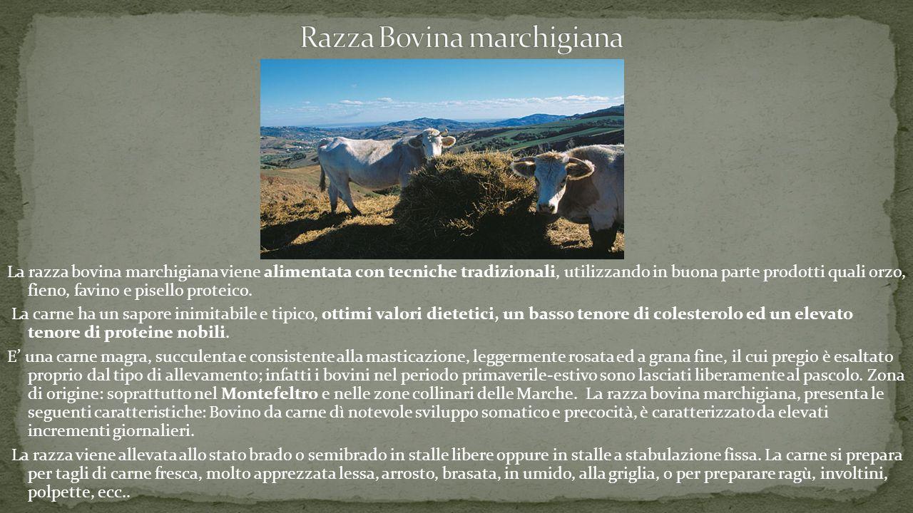 La razza bovina marchigiana viene alimentata con tecniche tradizionali, utilizzando in buona parte prodotti quali orzo, fieno, favino e pisello proteico.