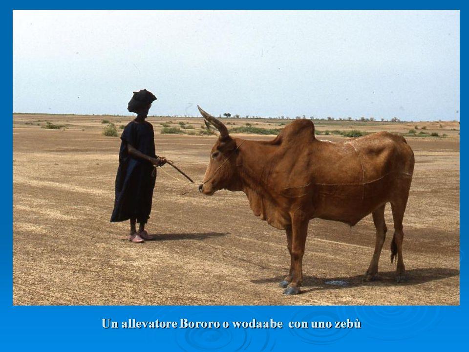 Un allevatore Bororo o wodaabe con uno zebù