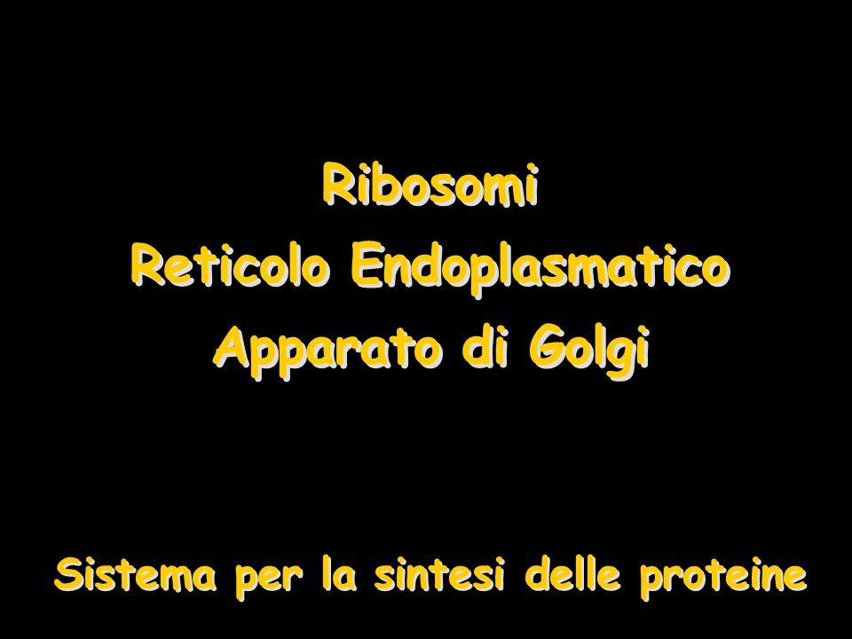Ribosomi Due sub-unità –Maggiore e minore –Proteine e rRNA Ribosomi liberiRibosomi liberi –Sintetizzano le proteine che rimangono nella cellula Proteine citoplasmaticheProteine citoplasmatiche strutturali e funzionali Associati col RERAssociati col RER –Sintetizzano le proteine che devono essere secrete o di membrana