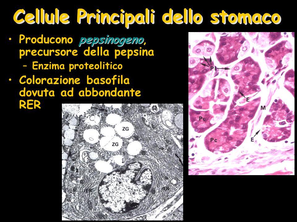 Cellule Principali dello stomaco pepsinogenoProducono pepsinogeno, precursore della pepsina –Enzima proteolitico Colorazione basofila dovuta ad abbond