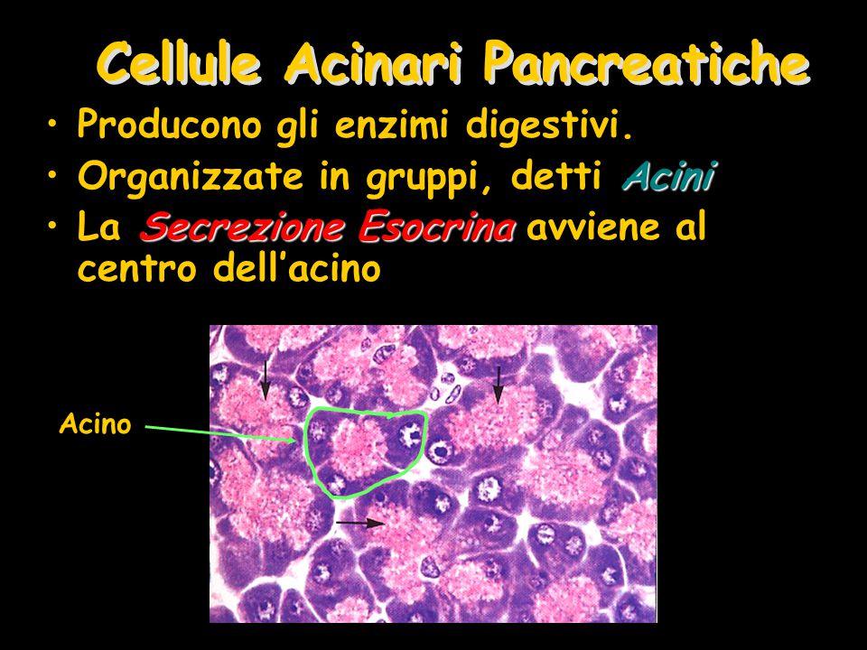Cellule Acinari Pancreatiche Producono gli enzimi digestivi. AciniOrganizzate in gruppi, detti Acini Secrezione EsocrinaLa Secrezione Esocrina avviene