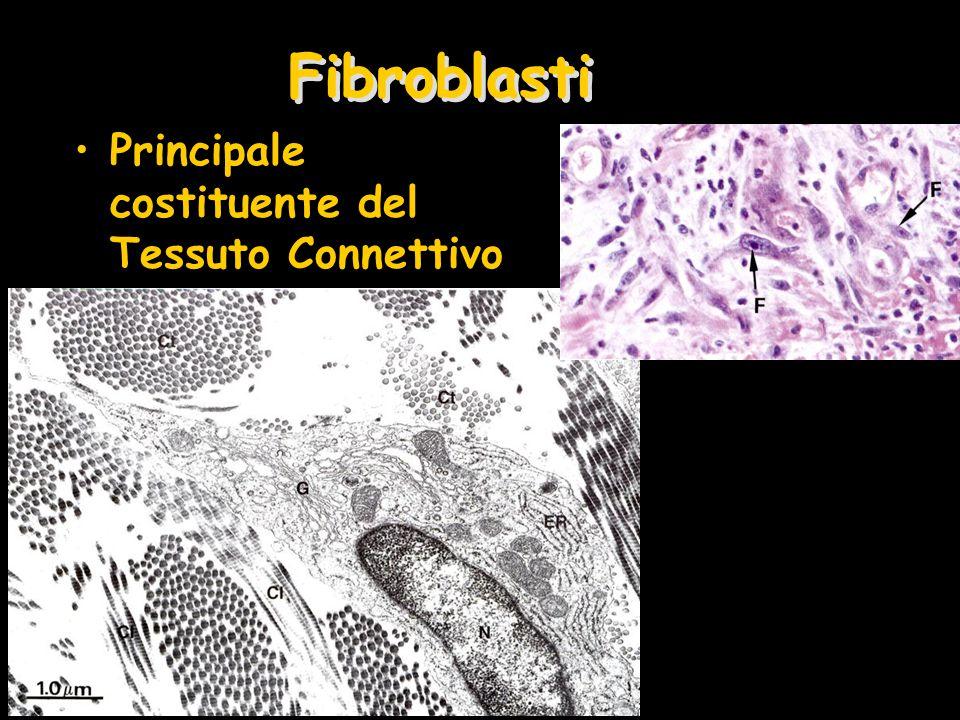 Fibroblasti Principale costituente del Tessuto Connettivo