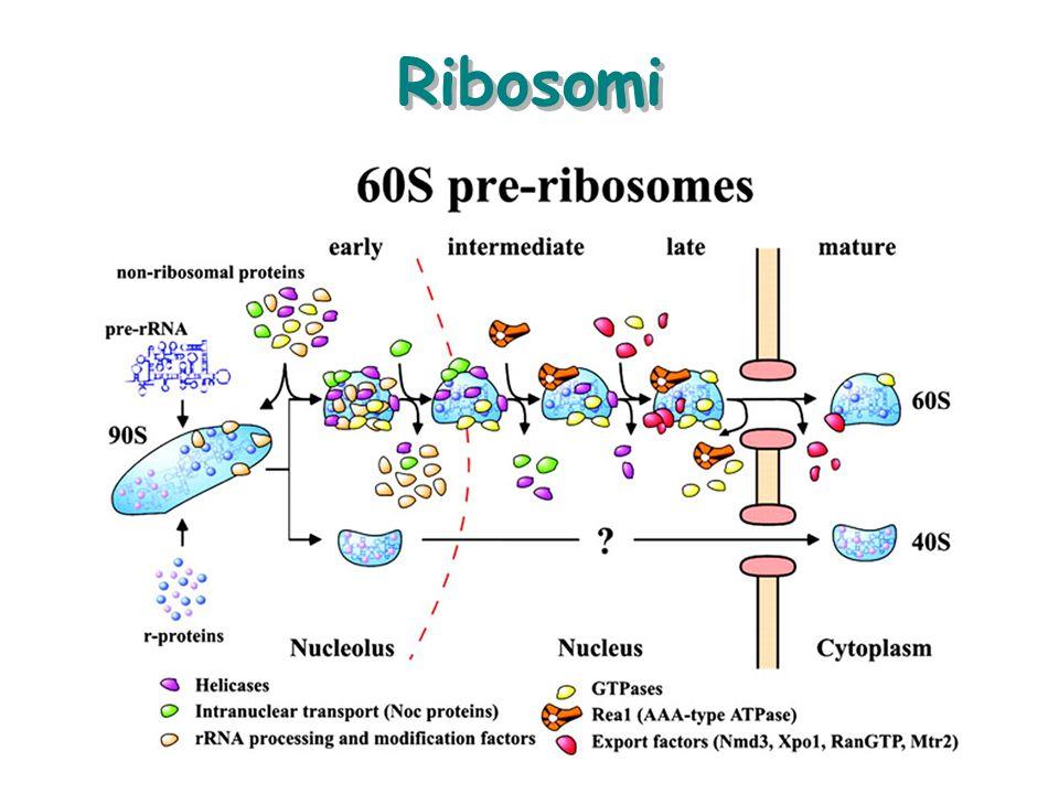 Prevalenza di Ribosomi liberi Globuli Rossi –Emoglobina Cellule muscolari in sviluppo –ActinaMiosina –Actina e Miosina Cellule Nervose –Neurofilamenti –Neurofilamenti (non neurotrasmettitori) Cheratinociti della pelle –Cheratina