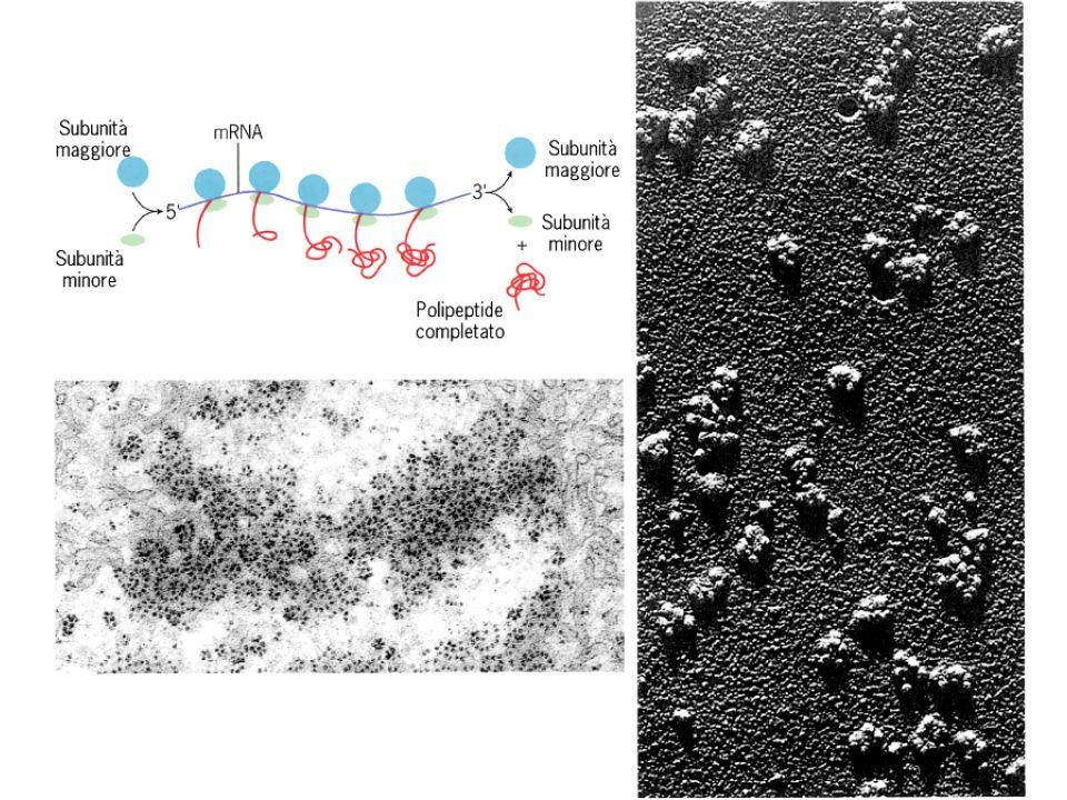 Funzioni del SER DetossificazioneDetossificazione –Ingrossamento negli epatociti dopo somministrazione di farmaci –Converte i farmaci lipo-solubili in prodotti di scarto idro-solubili, che vengono eliminati dai reni –Idrolasi, Ossidasi, Metilasi