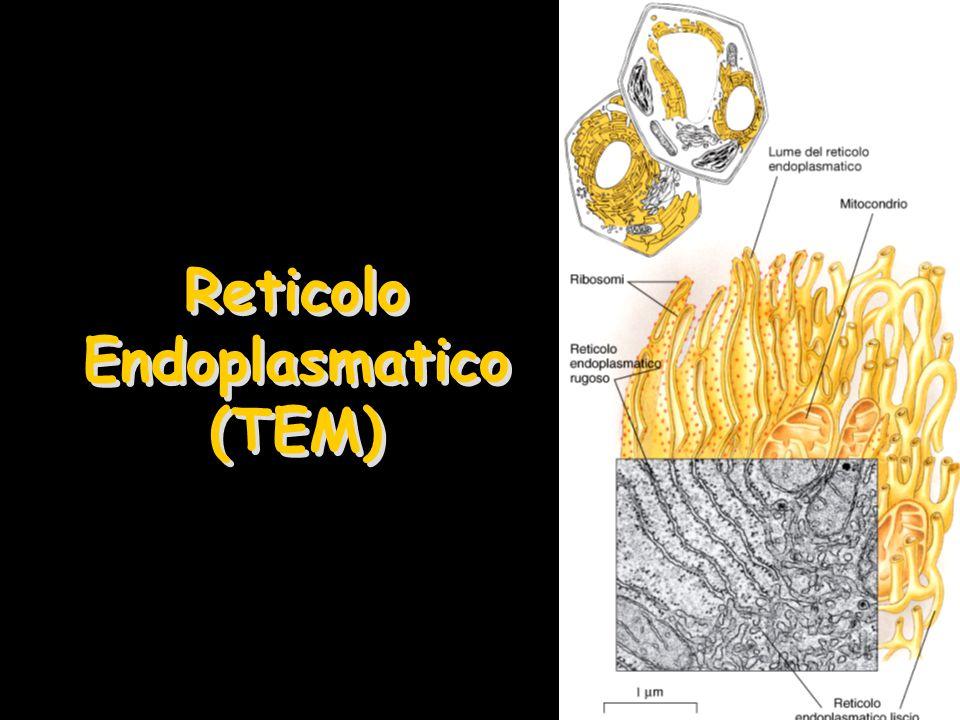 Reticolo Endoplasmatico Rugoso (RER) Traduzione degli RNA messaggeri in proteine e loro modificazioni Sintesi delle proteine che devono essere secrete o entrare nelle membrane cellulari –Le proteine prodotte devono passare attraverso il lume del RER per le modificazioni post-traduzionali