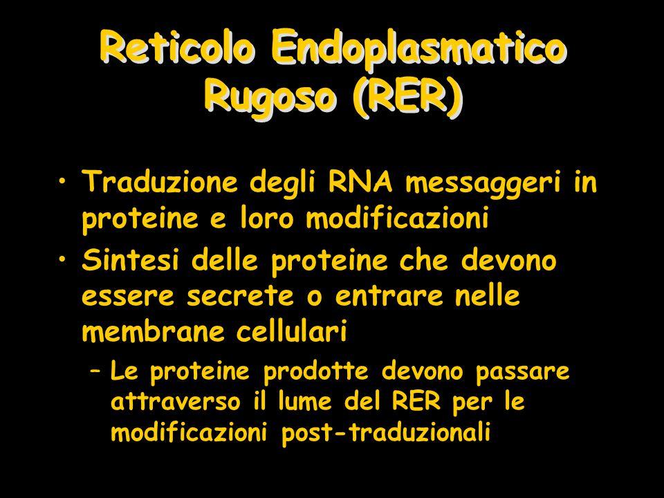 Reticolo Endoplasmatico Rugoso (RER) Traduzione degli RNA messaggeri in proteine e loro modificazioni Sintesi delle proteine che devono essere secrete