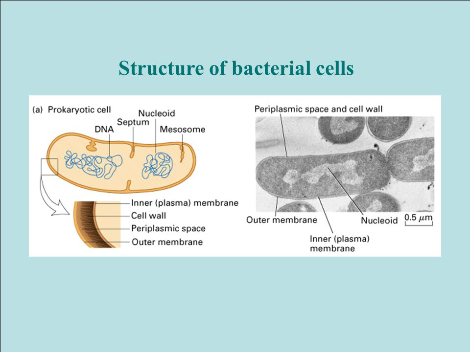 Structure of bacterial cells