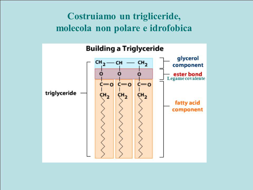 Costruiamo un trigliceride, molecola non polare e idrofobica Legame covalente
