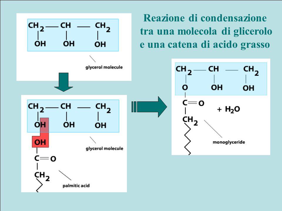 Reazione di condensazione tra una molecola di glicerolo e una catena di acido grasso