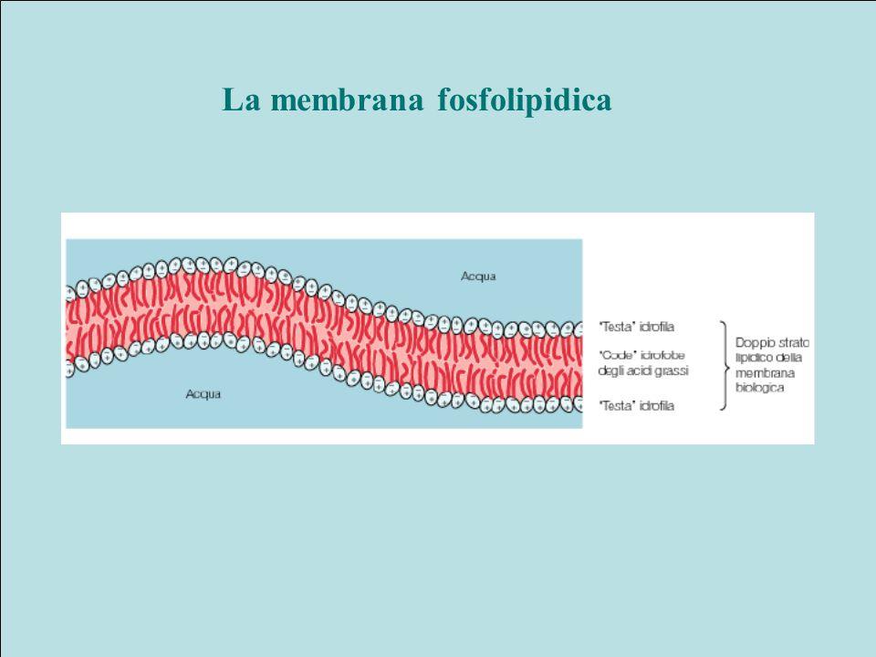 La membrana fosfolipidica