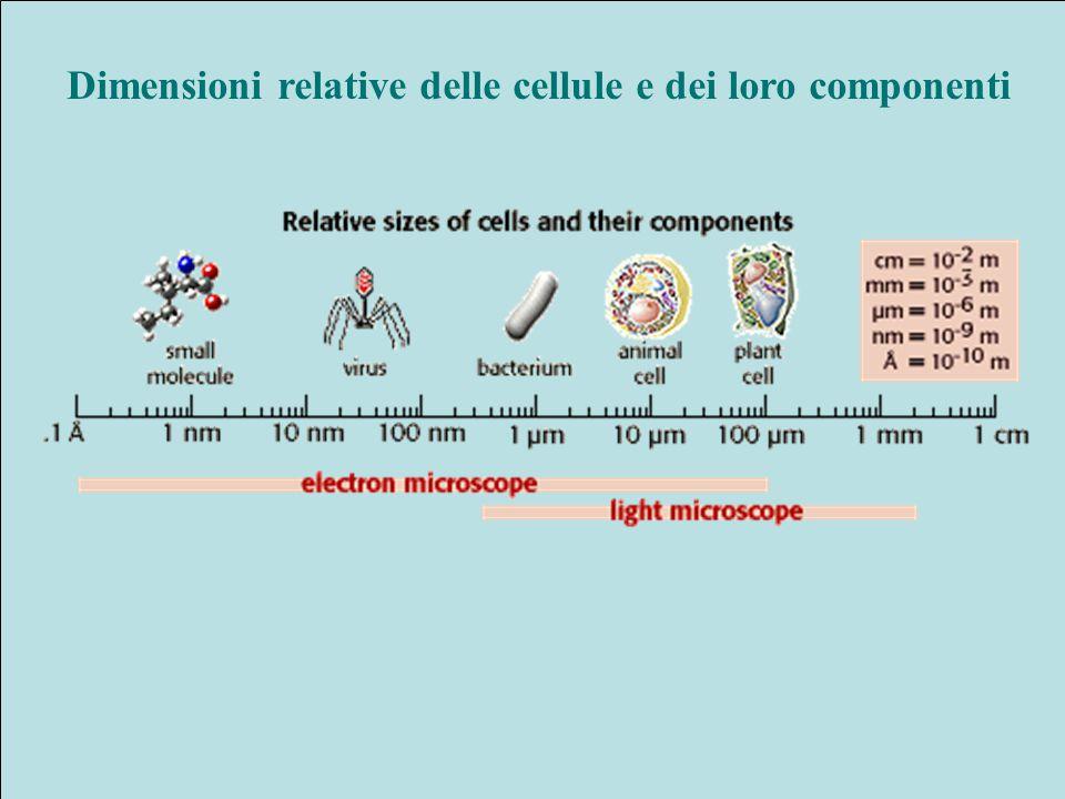 Dimensioni relative delle cellule e dei loro componenti