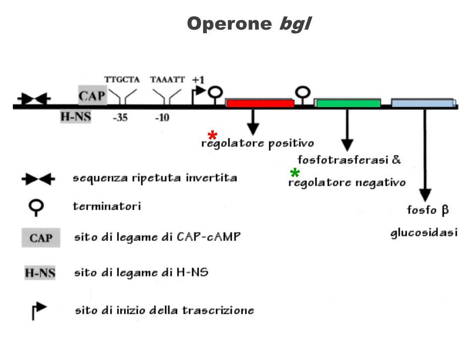 bglG regione ATCAP -35-10 P bgl t1t1 +132 CF RNA polimerasi CAP-cAMP H-NS binds to the upstream regulatory element and the promoter