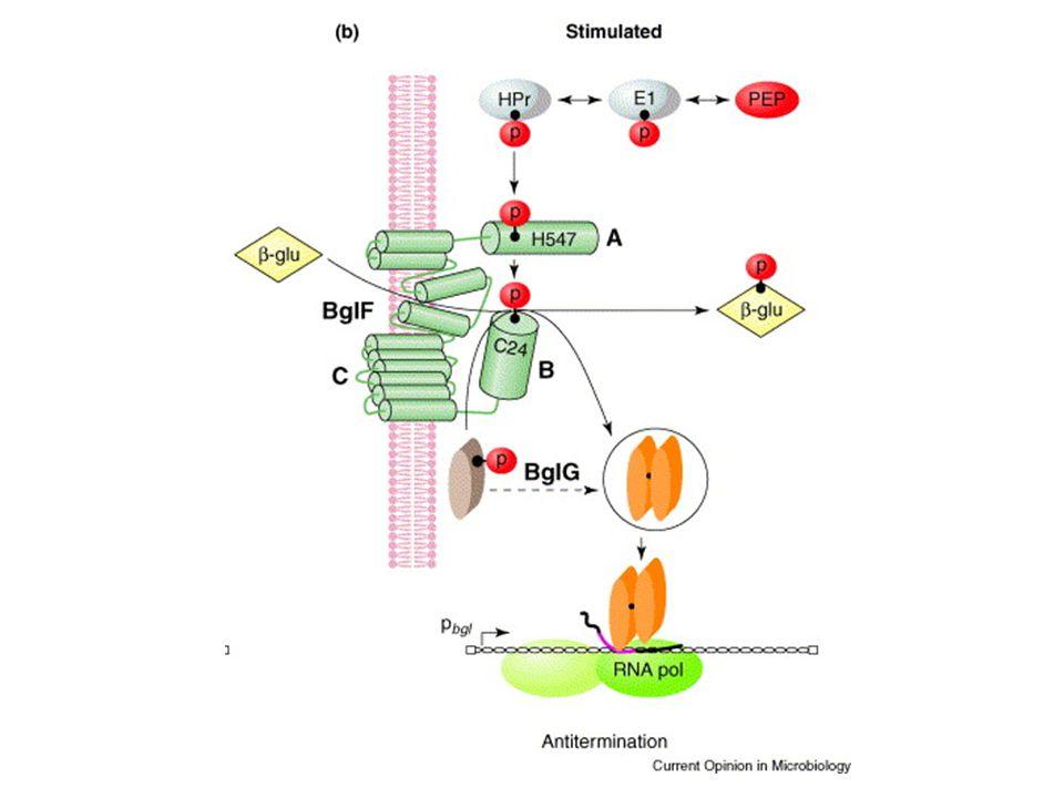 Ruolo biologico ed evolutivo dei geni criptici Secondo il modello di Hall et al.