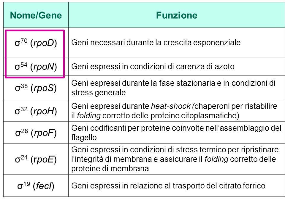 Nome/GeneFunzione σ 70 (rpoD) Geni necessari durante la crescita esponenziale σ 54 (rpoN) Geni espressi in condizioni di carenza di azoto σ 38 (rpoS) Geni espressi durante la fase stazionaria e in condizioni di stress generale σ 32 (rpoH) Geni espressi durante heat-shock (chaperoni per ristabilire il folding corretto delle proteine citoplasmatiche) σ 28 (rpoF) Geni codificanti per proteine coinvolte nell'assemblaggio del flagello σ 24 (rpoE) Geni espressi in condizioni di stress termico per ripristinare l'integrità di membrana e assicurare il folding corretto delle proteine di membrana σ 19 (fecI) Geni espressi in relazione al trasporto del citrato ferrico