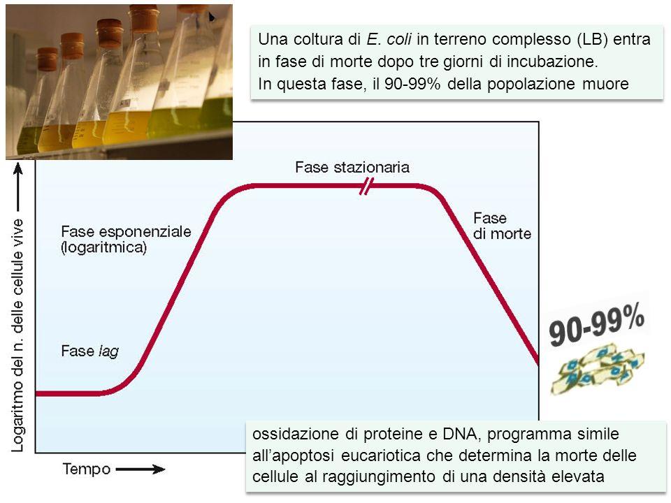 A partire dal 10° giorno delle colture in LB si osserva la comparsa, all'interno della popolazione batterica, del fenotipo GASP Le cellule sopravvissute possono utilizzare le sostanze rilasciate da quelle morte, inclusi gli amminoacidi dalle proteine, i lipidi dalla membrana cellulare e il DNA Dopo la fase di morte la vitalità delle cellule può essere mantenuta per mesi o addirittura per anni in una condizione definita fase stazionaria prolungata I fenotipi GASP mostrano una fitness migliore rispetto al ceppo parentale e il bilancio tra le cellule in crescita e morte fornisce un equilibrio dinamico il cui risultato finale è la vitalità stabile della popolazione