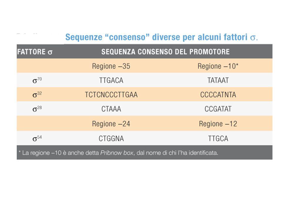 Consensus E. coli  32 (rpoH)
