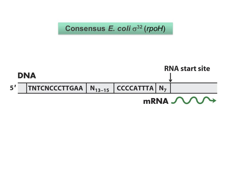 Some sigma factors are always expressed but inactive without a coactivator Some are only expressed when the genes they regulate are required Some are expressed but degraded Some are expressed but inactive due to anti-sigma factors