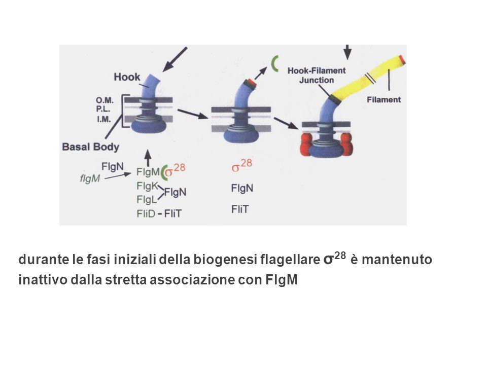 l'uncino ed il corpo basale sono assemblati FlgM viene secreto attraverso il sistema di trasporto flagellare (T3S) folded form