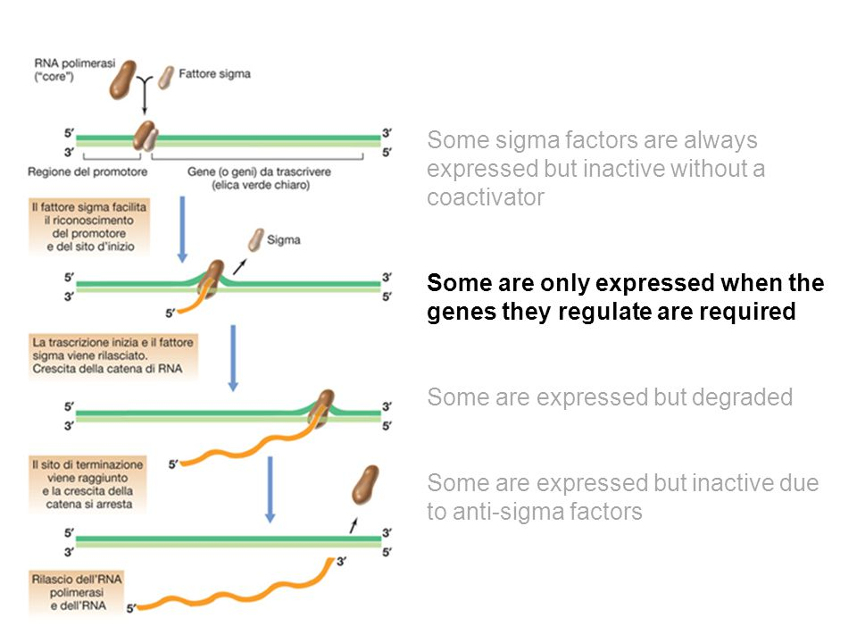 Some sigma factors are always expressed but inactive without a coactivator Some are only expressed when the genes they regulate are required Some are