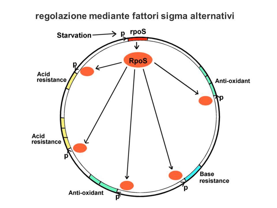  sRNA (small RNA), possono svolgere la loro azione regolativa appaiandosi a regioni specifiche di un RNA bersaglio perfettamente o parzialmente complementare (sRNA antisenso)  Gli RNA antisenso sono molecole piccole (da poche decine a poche centinaia di nucleotidi), diffusibili