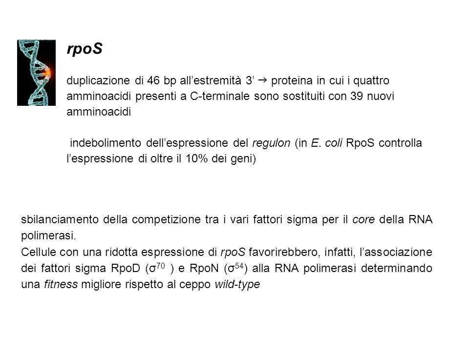 lrp Lrp è un regolatore trascrizionale che può funzionare sia da attivatore che da repressore e controlla l'espressione di molti geni implicati nel metabolismo e nel trasporto degli amminoacidi maggiore capacità di recuperare gli amminoacidi rilasciati dalle cellule morte, in particolare serina, treonina e alanina Attivazione operone ybeJ-gltJKL riarrangiamento genomico prodotto dalla sequenza di inserzione IS5.