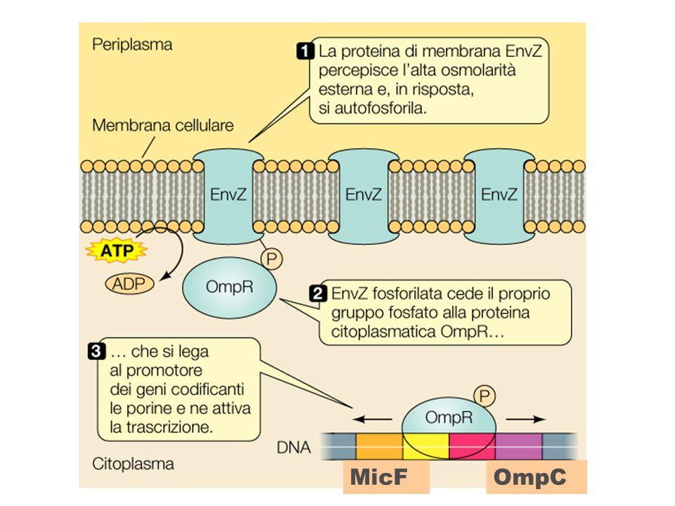 EnvZ/OmpR System of E. coli Senses changes in extracellular osmolarity