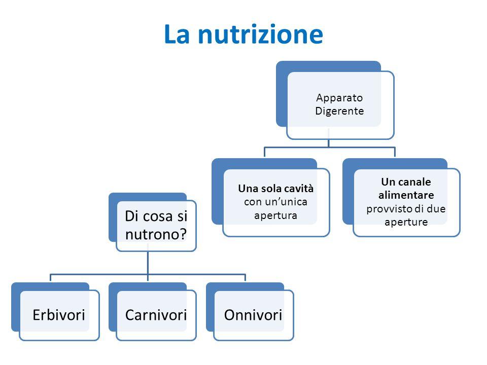La nutrizione Apparato Digerente Una sola cavità con un'unica apertura Un canale alimentare provvisto di due aperture Di cosa si nutrono? ErbivoriCarn