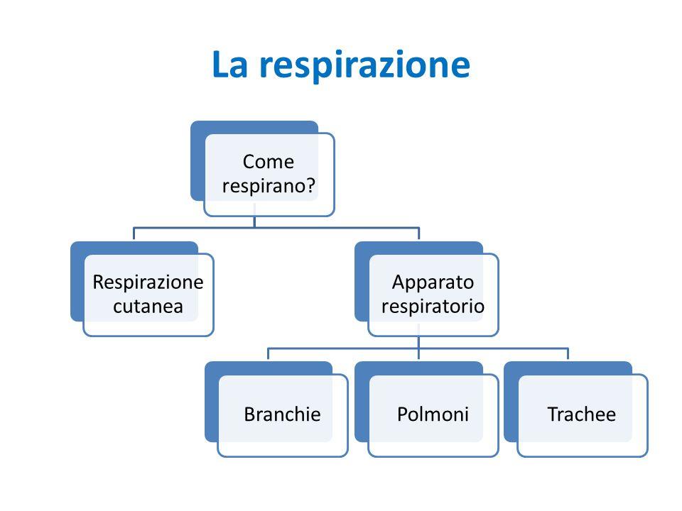 La respirazione Come respirano? Respirazion e cutanea Apparato respiratorio BranchiePolmoniTrachee