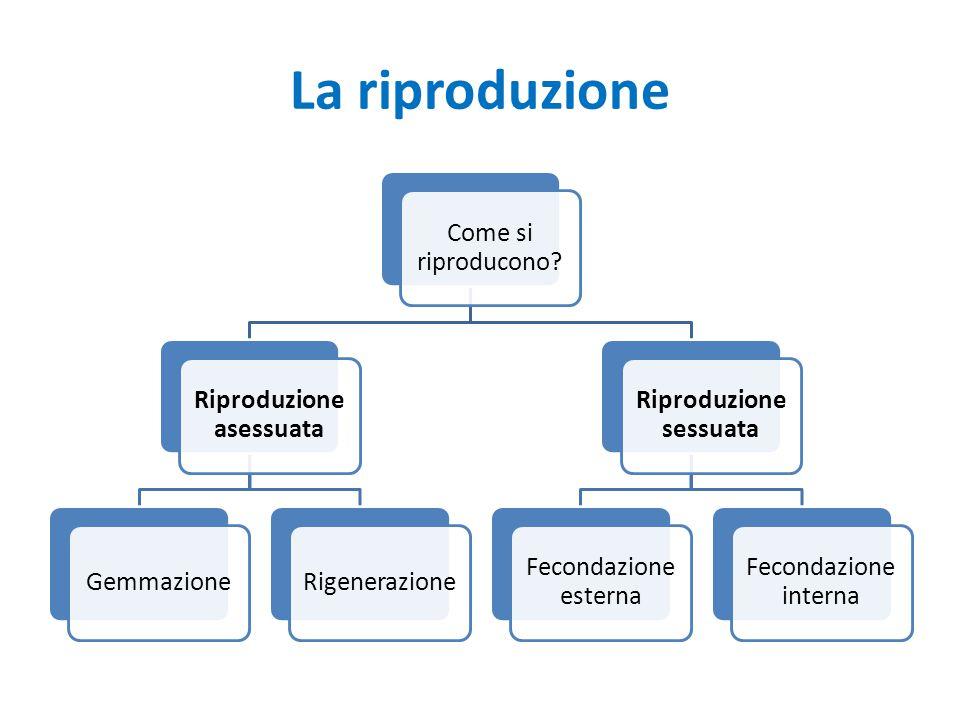 La riproduzione Come si riproducono? Riproduzione asessuata GemmazioneRigenerazione Riproduzione sessuata Fecondazione esterna Fecondazione interna