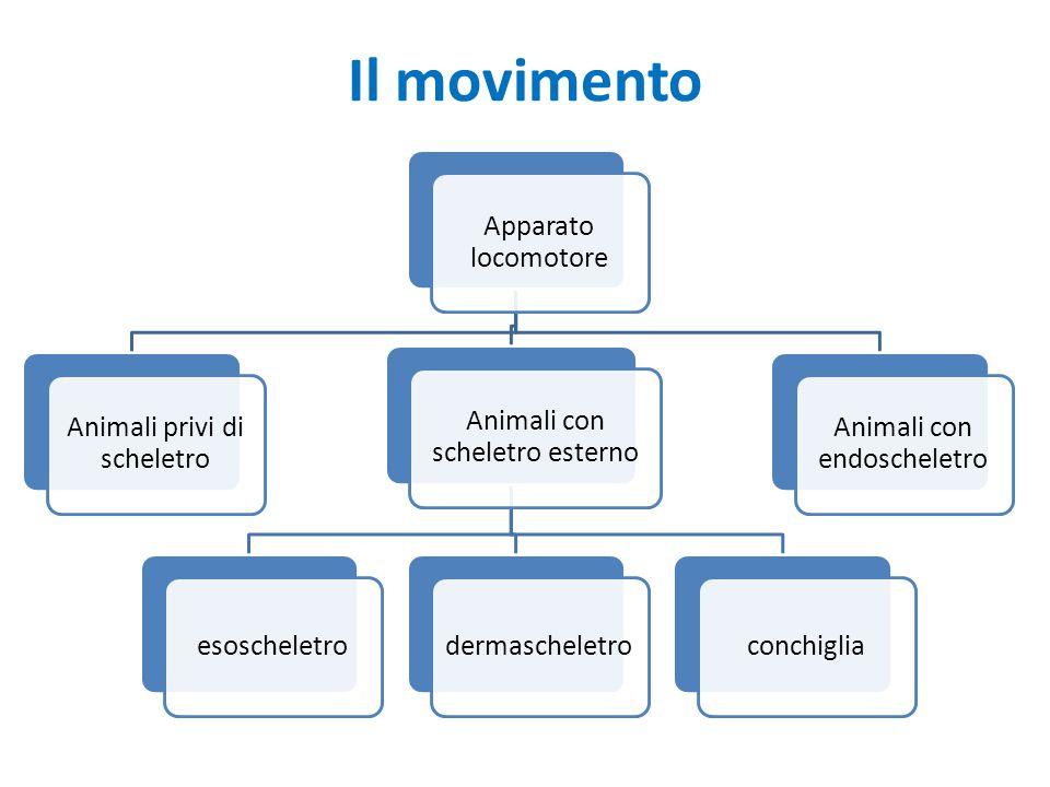 Il movimento Apparato locomotore Animali privi di scheletro Animali con scheletro esterno esoscheletrodermascheletroconchiglia Animali con endoschelet