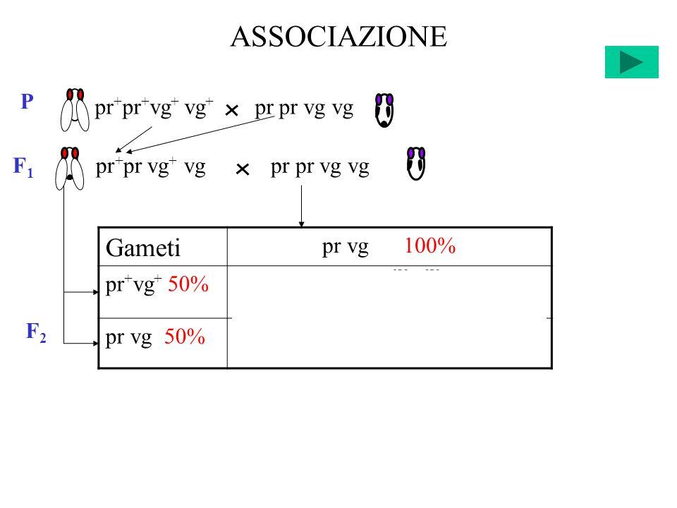 ASSOCIAZIONE F2F2 Gameti pr vg 100% pr + vg + 50%pr + pr vg + vg 25% +25% pr vg 50%pr pr vg vg 25% +25% pr + pr + vg + vg + pr pr vg vg P F 1 pr + pr vg + vgpr pr vg vg
