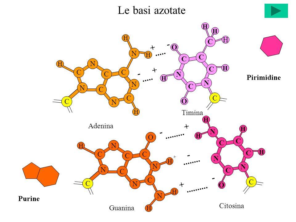 Citosina H H C C C C N H N O C N H Le basi azotate - +.....