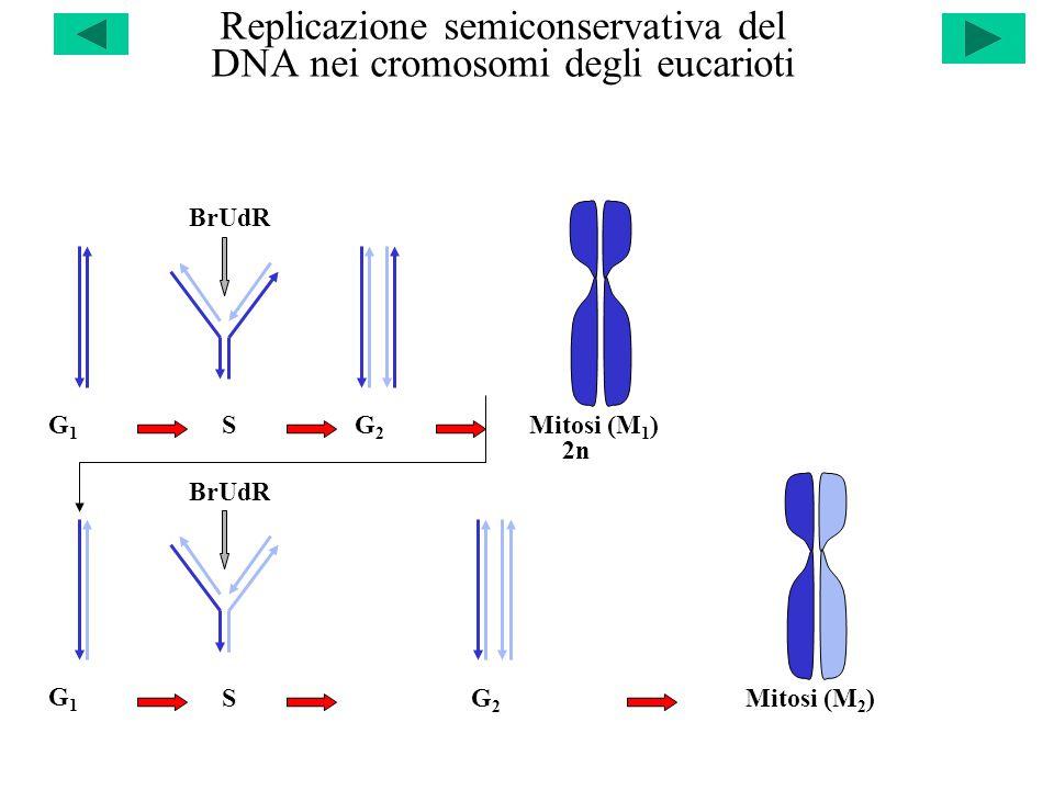 Replicazione semiconservativa del DNA nei cromosomi degli eucarioti G1G1 S BrUdR G2G2 Mitosi (M 1 ) G1G1 S BrUdR G2G2 Mitosi (M 2 ) 2n