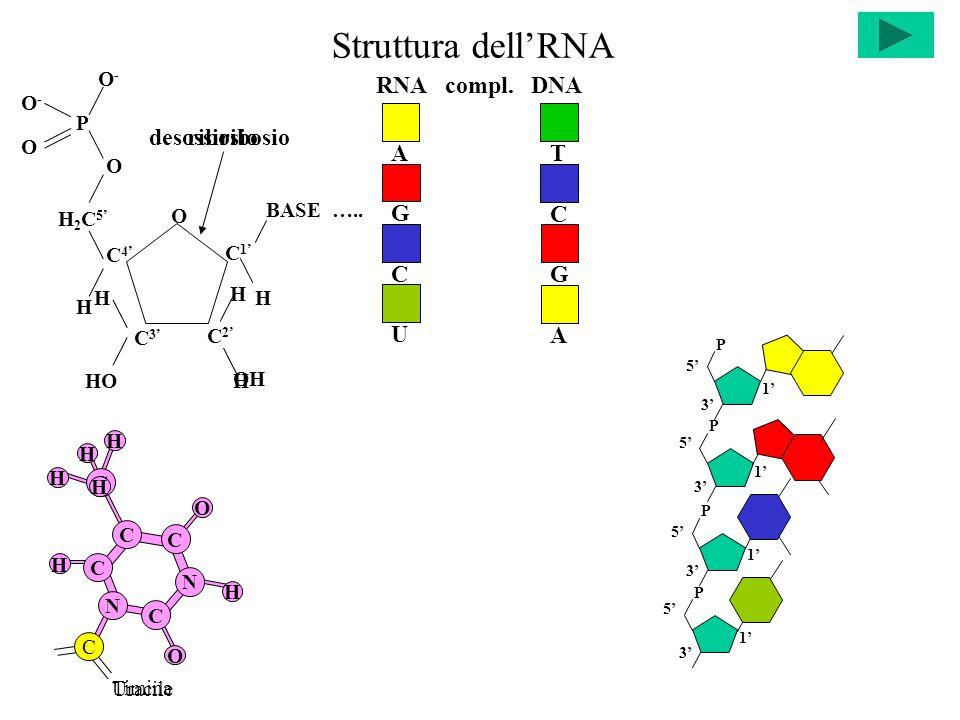 Struttura dell'RNA C C C C N H N H O O C Timina C H H H H P P 5' 3' 1' P P 5' 3' 1' A UCG OH desossiribosio H HO H H 2 C 5' O BASE …..