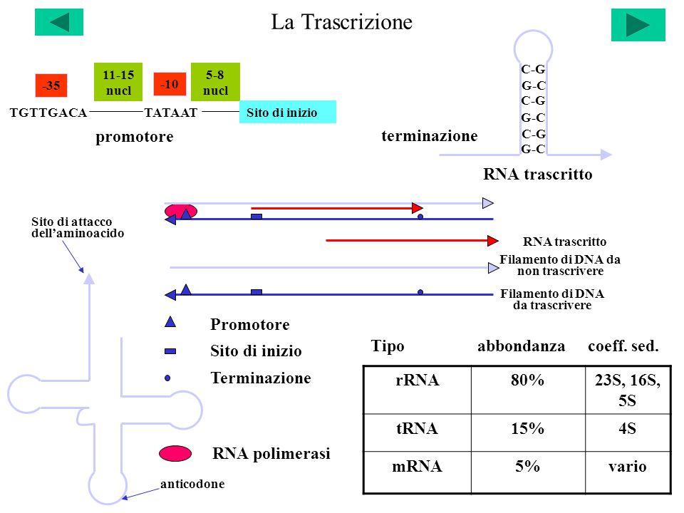 La Trascrizione TGTTGACATATAAT -35 -10 11-15 nucl 5-8 nucl Sito di inizio promotore terminazione C-G G-C C-G G-C RNA trascritto rRNA80%23S, 16S, 5S tRNA15%4S mRNA5%vario Tipo abbondanza coeff.
