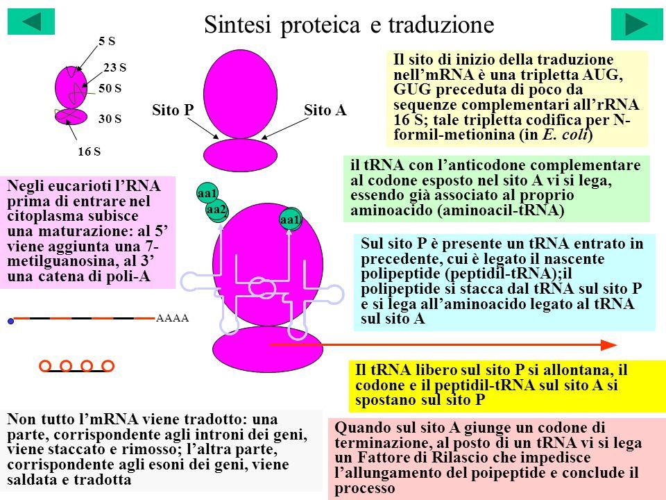 Sintesi proteica e traduzione 50 S 30 S 23 S 16 S 5 S Il sito di inizio della traduzione nell'mRNA è una tripletta AUG, GUG preceduta di poco da sequenze complementari all'rRNA 16 S; tale tripletta codifica per N- formil-metionina (in E.