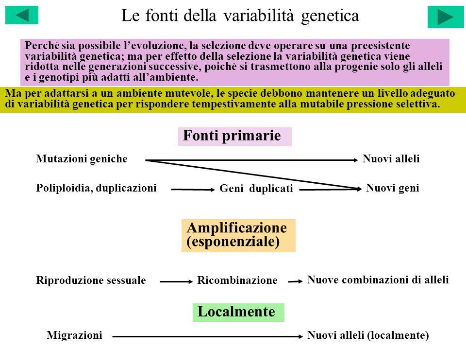 Le fonti della variabilità genetica Mutazioni geniche Poliploidia, duplicazioni Nuovi alleli Nuovi geni Geni duplicati Riproduzione sessualeRicombinazione Nuove combinazioni di alleli Fonti primarie Amplificazione (esponenziale) Localmente MigrazioniNuovi alleli (localmente) Perché sia possibile l'evoluzione, la selezione deve operare su una preesistente variabilità genetica; ma per effetto della selezione la variabilità genetica viene ridotta nelle generazioni successive, poiché si trasmettono alla progenie solo gli alleli e i genotipi più adatti all'ambiente.