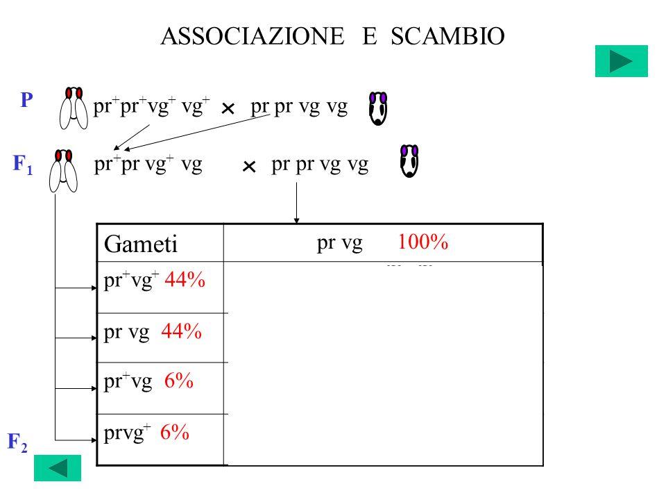 ASSOCIAZIONE E SCAMBIO F2F2 Gameti pr vg 100% pr + vg + 44%pr + pr vg + vg 22% +22% pr vg 44%pr pr vg vg 22% +22% pr + vg 6%pr + pr vg vg 3% +3% prvg + 6%pr pr vg + vg 3% +3% pr + pr + vg + vg + pr pr vg vg P F 1 pr + pr vg + vgpr pr vg vg