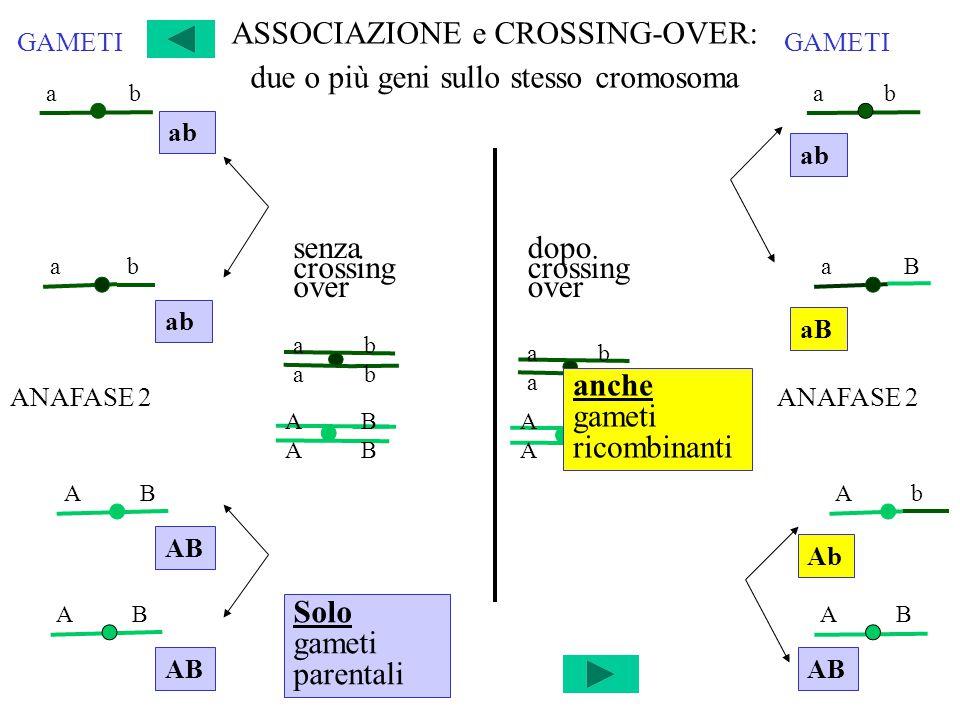 ASSOCIAZIONE e CROSSING-OVER: due o più geni sullo stesso cromosoma senza crossing over a b a B dopo crossing over A B A b A B ANAFASE 2 Solo gameti parentali GAMETI a b A B A b ANAFASE 2 a b a B A B Ab GAMETI anche gameti ricombinanti