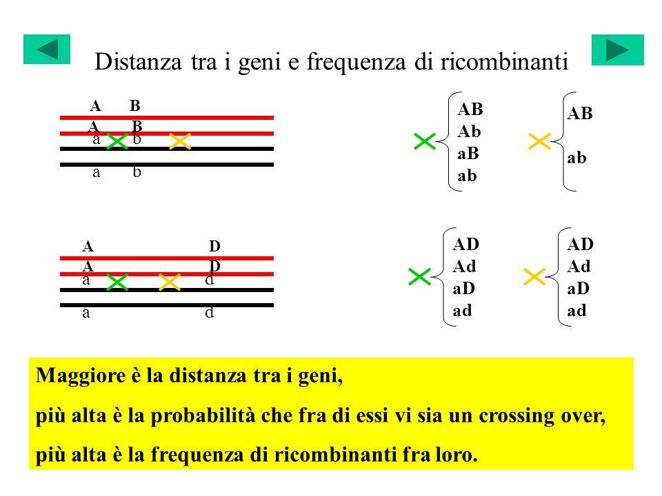 Distanza tra i geni e frequenza di ricombinanti A B a b A D a d AB Ab aB ab AB ab AD Ad aD ad AD Ad aD ad Maggiore è la distanza tra i geni, più alta è la probabilità che fra di essi vi sia un crossing over, più alta è la frequenza di ricombinanti fra loro.