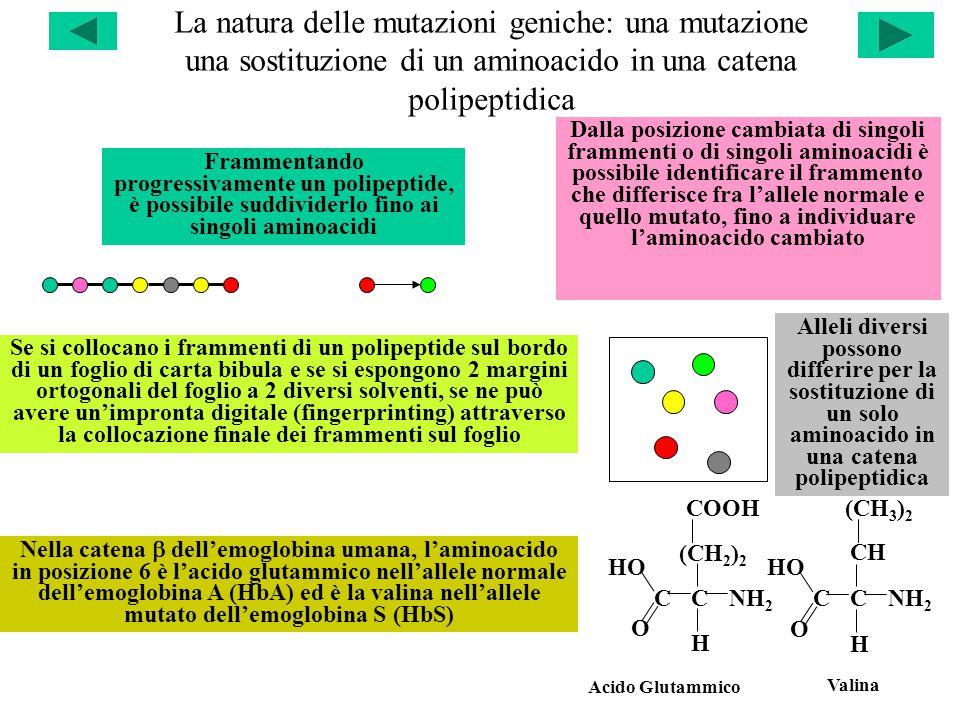 La natura delle mutazioni geniche: una mutazione una sostituzione di un aminoacido in una catena polipeptidica Alleli diversi possono differire per la sostituzione di un solo aminoacido in una catena polipeptidica Se si collocano i frammenti di un polipeptide sul bordo di un foglio di carta bibula e se si espongono 2 margini ortogonali del foglio a 2 diversi solventi, se ne può avere un'impronta digitale (fingerprinting) attraverso la collocazione finale dei frammenti sul foglio Nella catena  dell'emoglobina umana, l'aminoacido in posizione 6 è l'acido glutammico nell'allele normale dell'emoglobina A (HbA) ed è la valina nell'allele mutato dell'emoglobina S (HbS) Frammentando progressivamente un polipeptide, è possibile suddividerlo fino ai singoli aminoacidi Dalla posizione cambiata di singoli frammenti o di singoli aminoacidi è possibile identificare il frammento che differisce fra l'allele normale e quello mutato, fino a individuare l'aminoacido cambiato CC H NH 2 COOH O HO CC H NH 2 O HO CH (CH 2 ) 2 (CH 3 ) 2 Acido Glutammico Valina