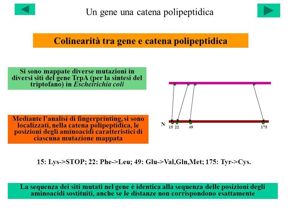 Un gene una catena polipeptidica Colinearità tra gene e catena polipeptidica Si sono mappate diverse mutazioni in diversi siti del gene TrpA (per la sintesi del triptofano) in Escheirichia coli Mediante l'analisi di fingerprinting, si sono localizzati, nella catena polipeptidica, le posizioni degli aminoacidi caratteristici di ciascuna mutazione mappata N 15 22 49 175 15: Lys->STOP; 22: Phe->Leu; 49: Glu->Val,Gln,Met; 175: Tyr->Cys.