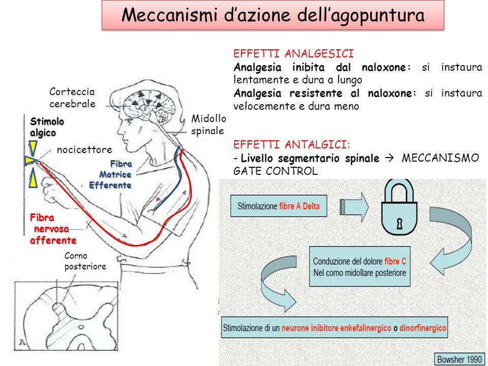 Meccanismi d'azione dell'agopuntura Stimoloalgico Corteccia cerebrale nocicettore FibraMotriceEfferente Fibra nervosa afferente nervosa afferente Corn