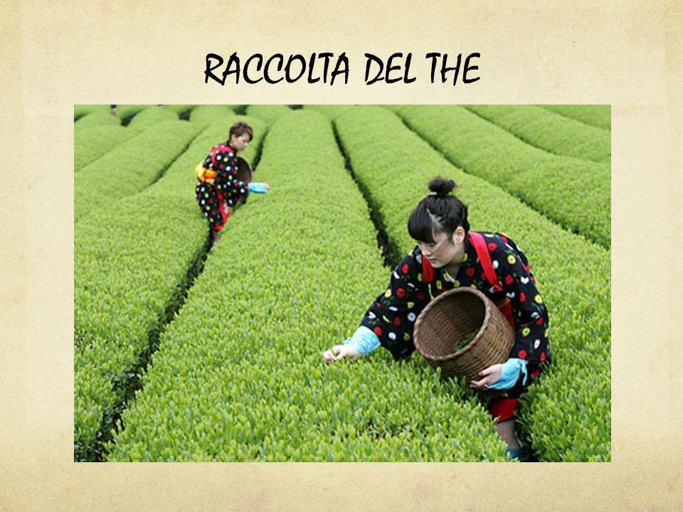 RACCOLTA DEL THE